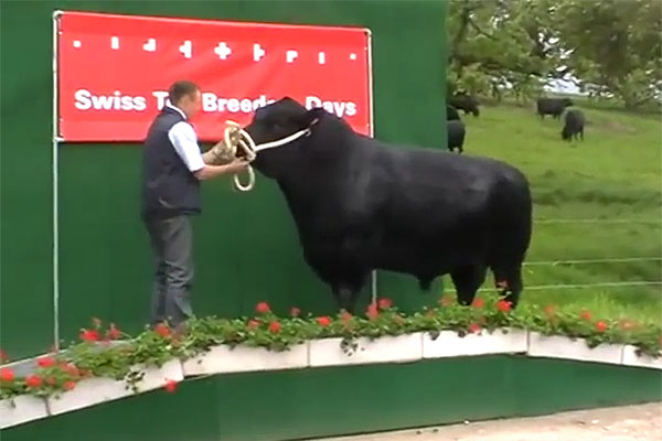 Swiss Top Breeders Days - Stier Ukres